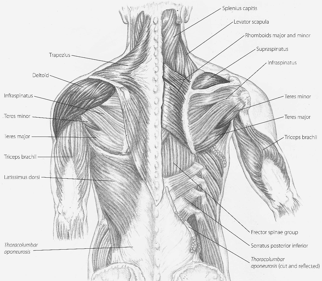 Superficial Upper Back Muscles Diagram Block And Schematic Diagrams