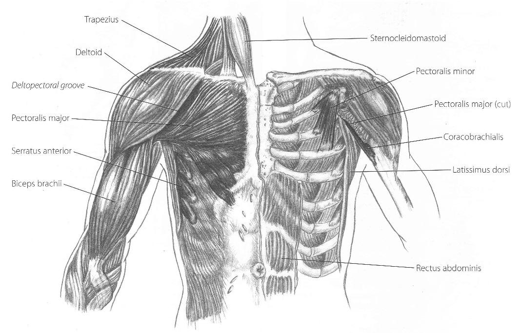 Biceps Brachii Brooklyn Reflexology